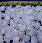 White Ark Shells