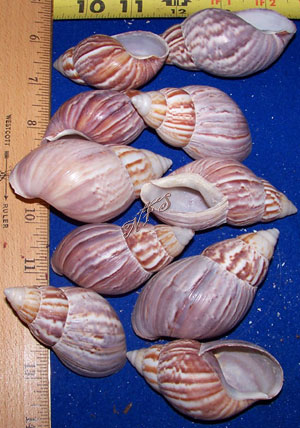 Japanese Land Snail Qty of 6