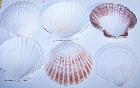 Scallop Seashells for Sale