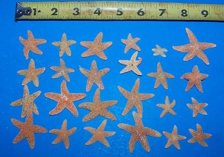 Sugar Starfish Dried