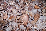 Indian Mix - Medium - Large Beach Mix Seashells 1 Gallon Special