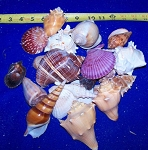 Indian Mix - XL - Beach Mix Seashells  Bulk Special