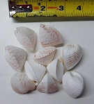 Cardium Fragum Heart Pairs Sea Shells