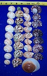 30+ Assorted Hermit Crab Shells