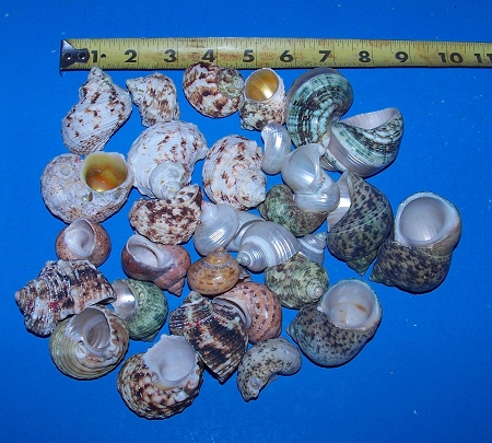 30+ Assorted  Turbo Shells Hermit Crab