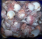 Calico Pectin - Scallop Seashells