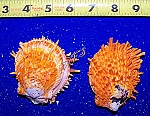 Spondylus Ducallis Orange pairs