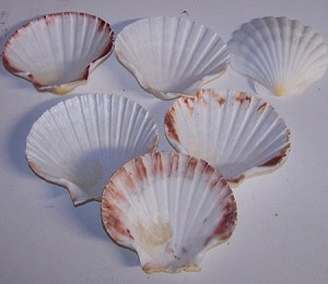 "3""+  Baking Scallop Clams Seafood Cooking shells"