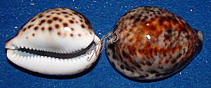 Tiger Cowrie Polished
