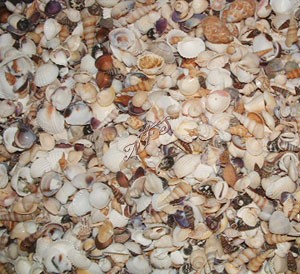 Indian Mix - Small - Medium Beach Mix Seashells 1 Gallon Special