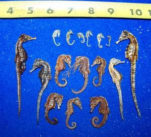 Dried Seahorse Real SeaHorses