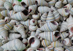 Haitian Tree Candy Stripe Snail Shell