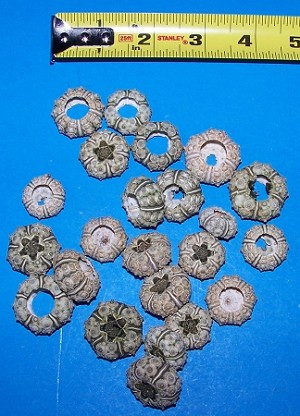 Green Knobby Urchins Dried 1/2 inch +